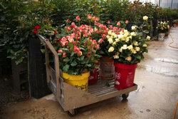 تولید گل رز شاخه بریده در معموره