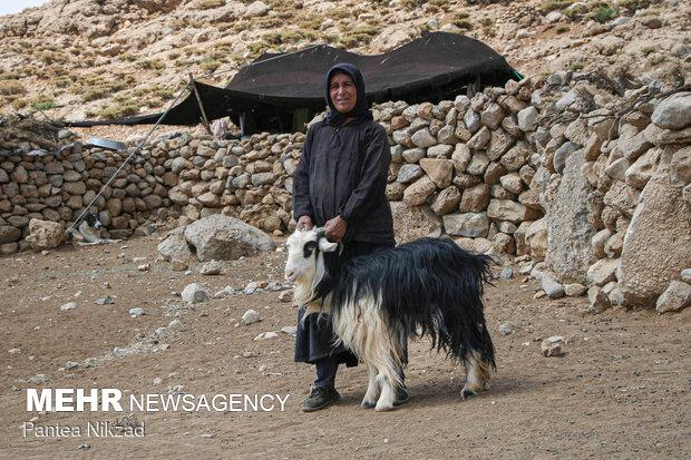 واکسیناسیون دام عشایر استان چهارمحال و بختیاری