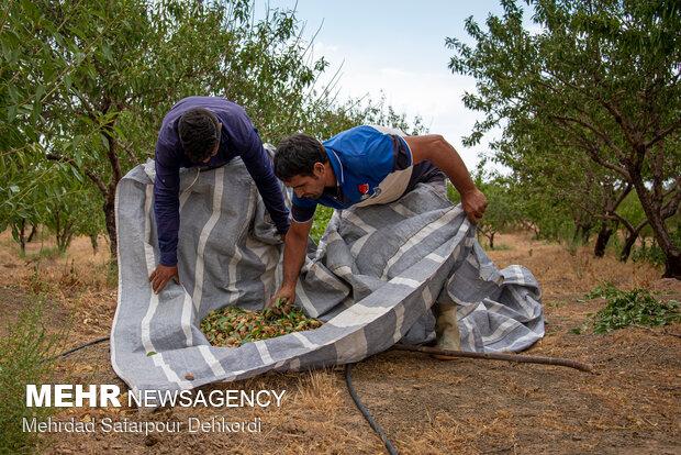 Almonds harvesting in Saman County