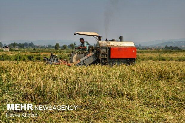 کشت برنج در خوزستان با مجوز مقامات استان انجام شد