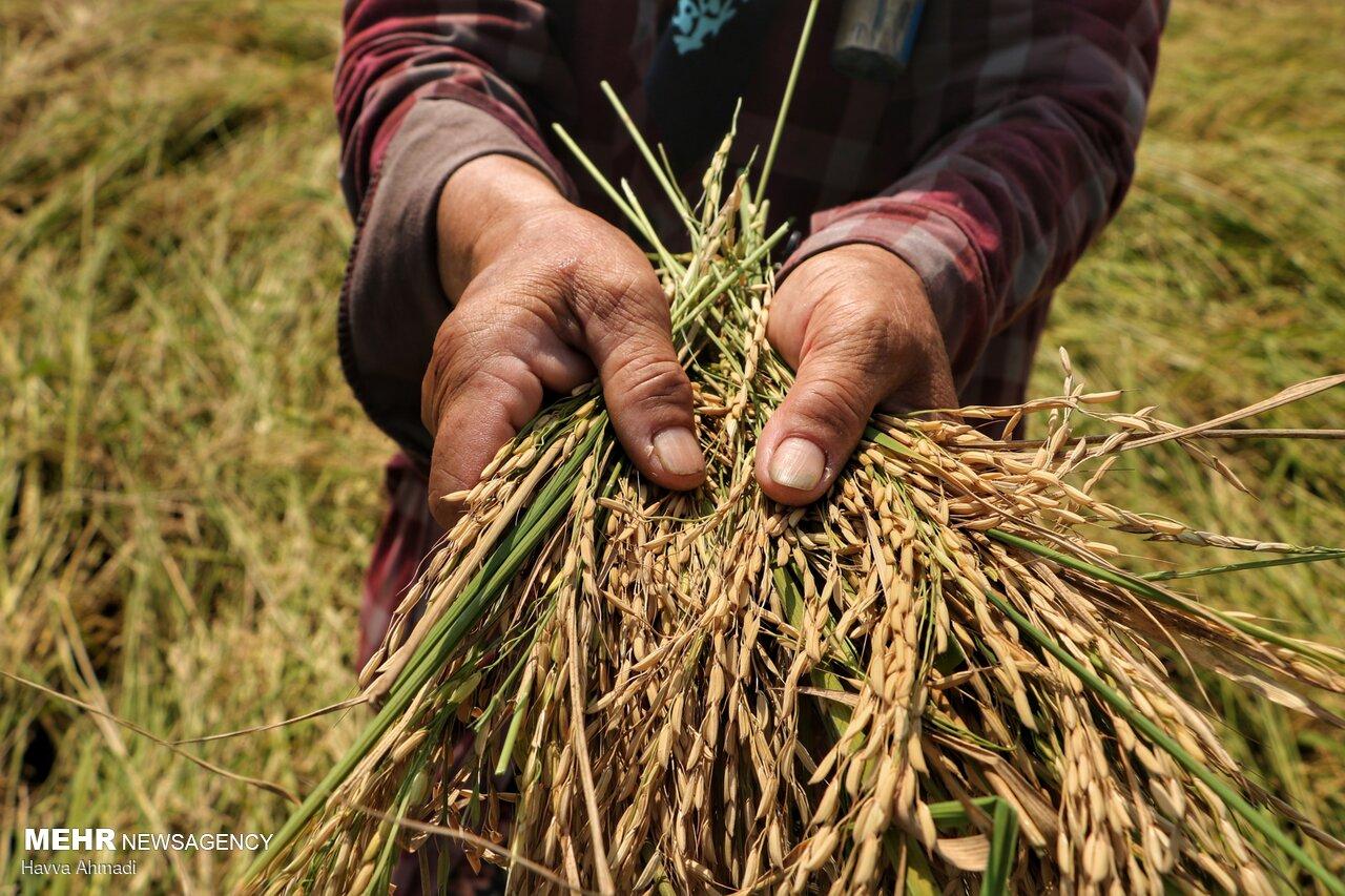 ۲۷۰ هزار هکتار مبارزه  با کرم ساقه خوار برنج انجام شد