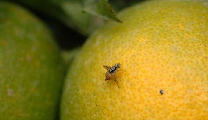 محصول زیستسازگاری برای حذف مگس میوه تولید شد