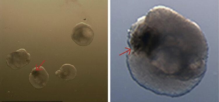 محققان نوعی چشم ابتدایی را در آزمایشگاه توسعه دادند
