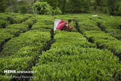 Iran exports 3.8k tons of tea in 1st four months: Official