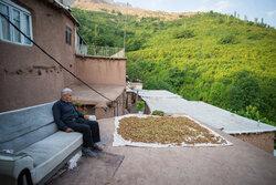 İran'da fındık hasadı