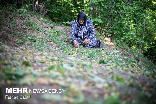 Gardeners harvesting hazelnuts in Qazvin