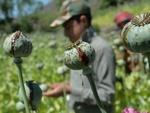 طالبان نے افغانستان میں پوست کی کاشت پر پابندی عائد کردی