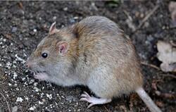 هجوم موشها به مزارع رباط کریم/ جهاد کشاورزی نظاره گر است!