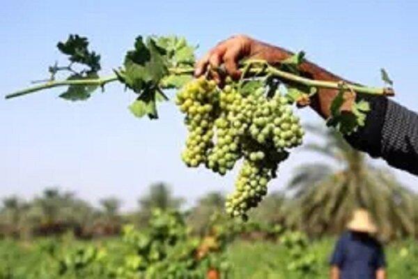 VIDEO: Harvesting grapes in Chaharmahal and Bakhtiari prov.