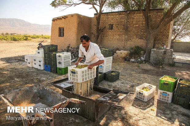 برداشت انگور از تاکستانهای خراسان شمالی