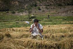 هشدار سازمان حفظ نباتات درباره افزایش آفت شب پره در کشت مجدد برنج