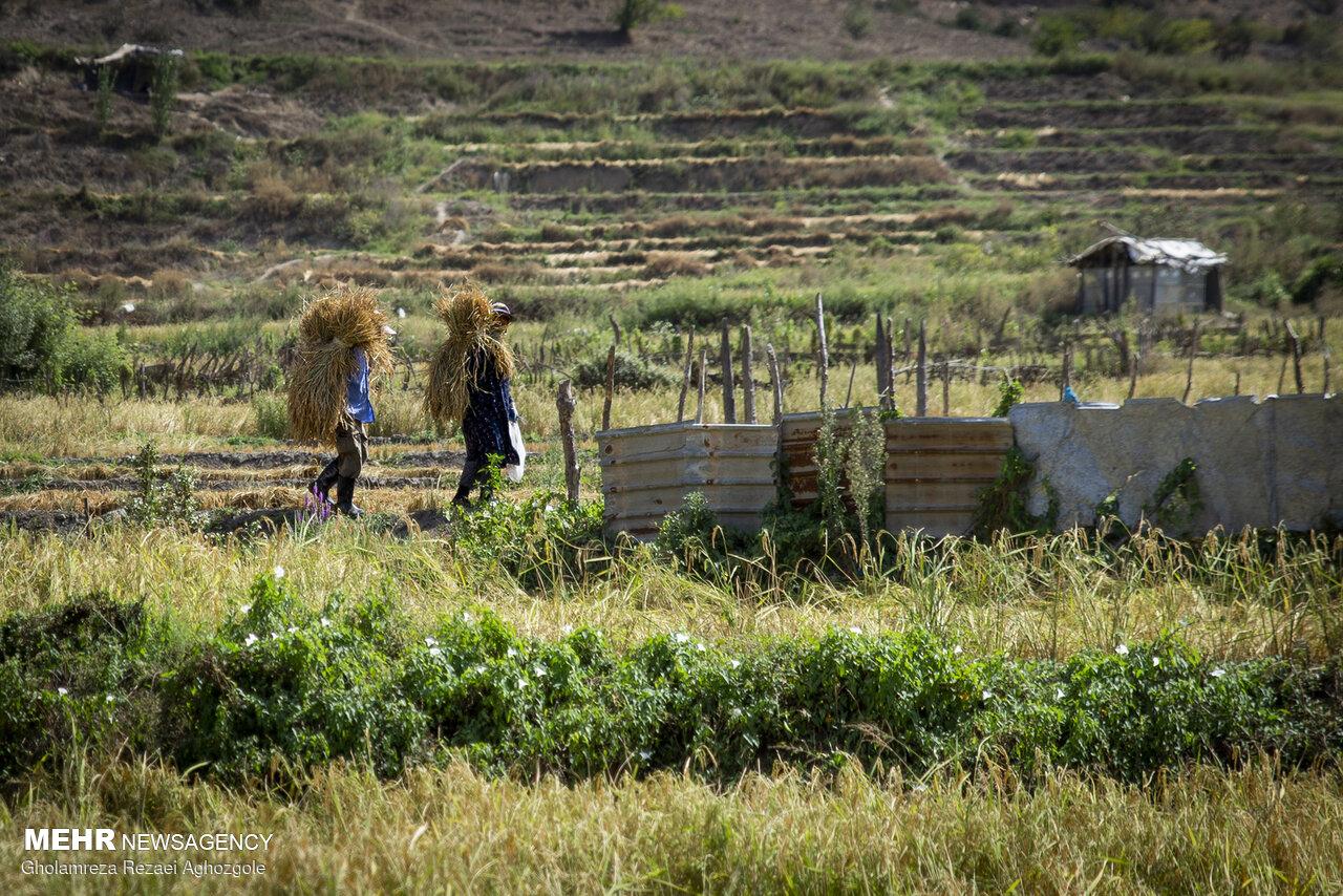 حذف تدریجی برنج شمال از شالیزار و سفره