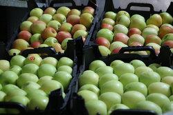 دولت به ذخیرهسازی سیب و پرتقال ورود نکند