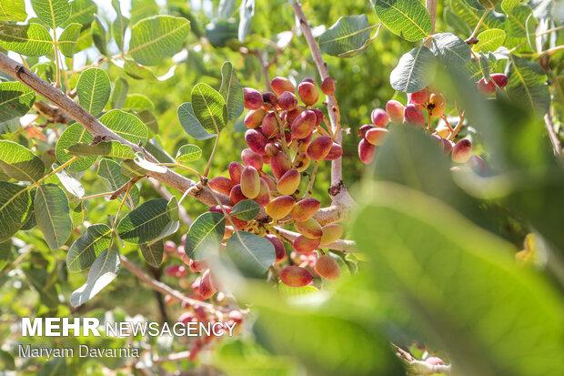پیشبینی برداشت ۴۰۰۰ تنی پسته از باغهای شهرستان بجستان