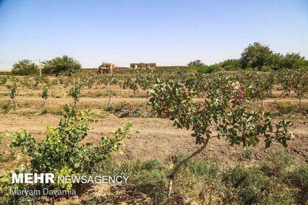 برداشت و فرآوری پسته از باغات جاجرم در خراسان شمالی