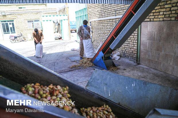 ترمینال فرآوری پسته در ارزوئیه وجود ندارد/تحمیل هزینه به کشاورزان