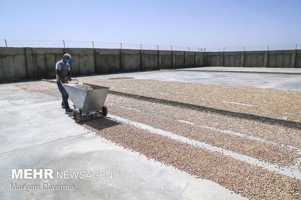 Pistachio harvest in Jajarm