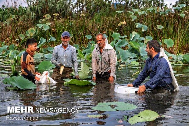 صید ماهی به روش سنتی (چپی زنی) در رودبست بابلسر