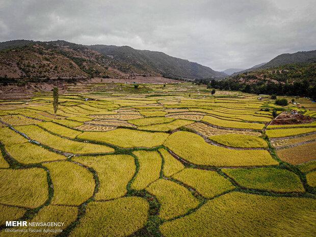 برداشت سنتی برنج در مازندران