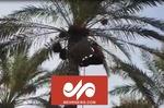 برداشت «خرمای اشرسی» از نخلستانهای قصرشیرین