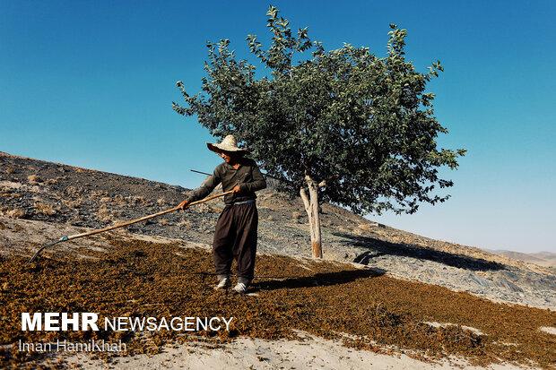 استحصال کشمش در روستای توسک ملایر