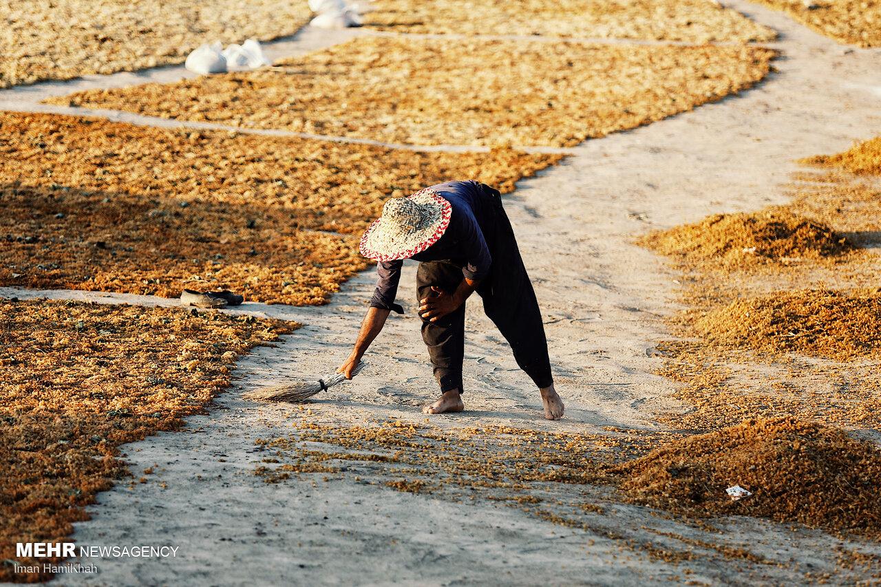 İran'da üzüm kurutma sezonu