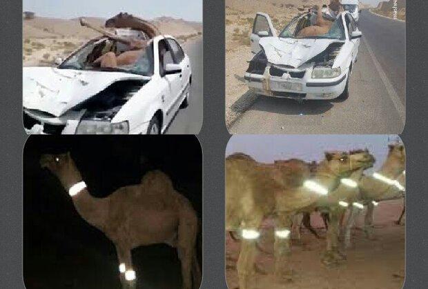نصب گردنبند شبنما بر بدن شترها به منظور کاهش تصادفات
