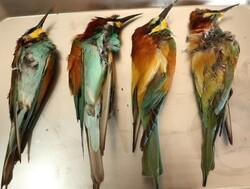 مرگ ۱۷ قطعه پرنده زنبور خوار با استفاده از سم/ ۳ زنبوردار دستگیر شدند