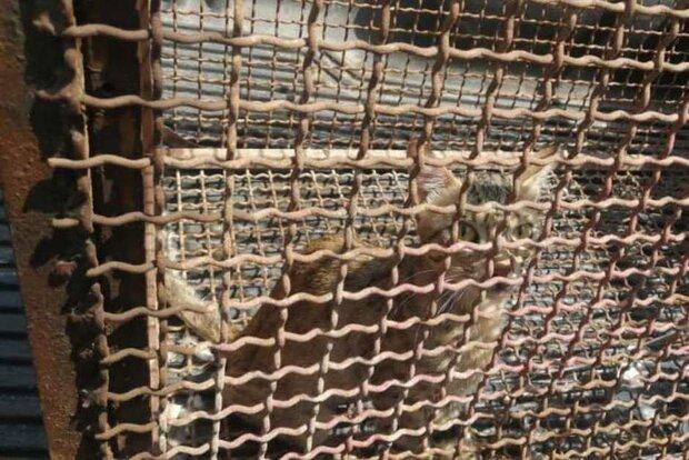 زنده گیری و رهاسازی یک قلاده گربه وحشی در شهرستان گناوه