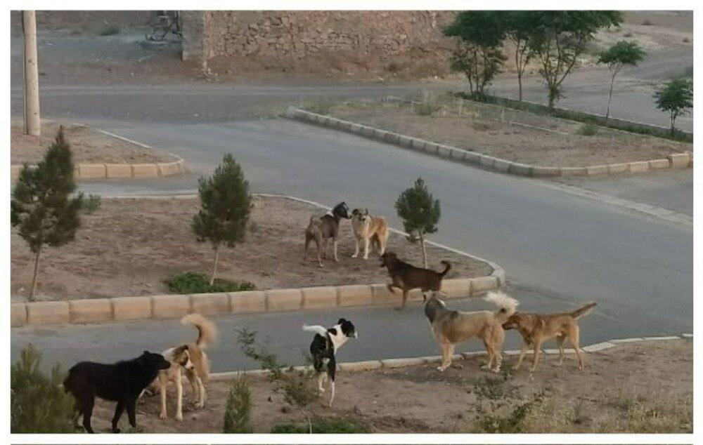 جولان سگهای ولگرد در کوچههای اردستان/شهرداری زیر بار نمی رود