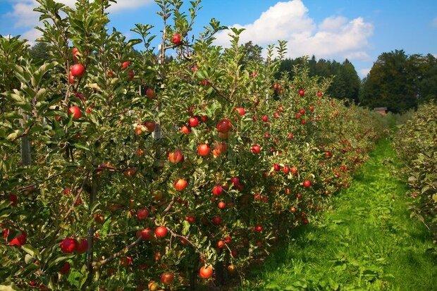 پیشبینی برداشت ۲۷۵ هزار تن سیب و گلابی در خراسانرضوی