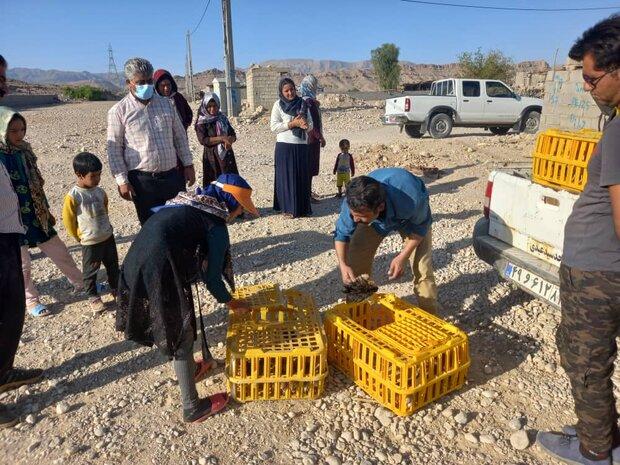 ۳۳۶۵ قطعه نیمچه مرغ  بومی در مناطق عشایری فارس توزیع شد