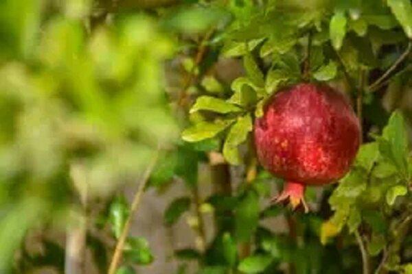 VIDEO: Pomegranate orchards in Shahreza
