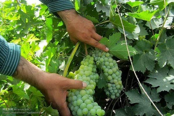 عطش باغات انگور در دیار خوشههای طلایی/ ۱۲۵هزارتن محصول ازبین رفت