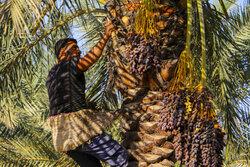 Harvesting date in Khouzestan