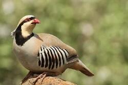 ۲ گروه متخلف شکار و زندهگیری پرندگان وحشی در جیرفت دستگیر شدند