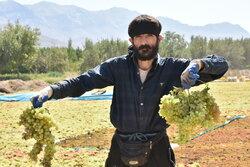 ۲۷۰ باغدار خندابی منتظر تخصیص اعتبار و دریافت تسهیلات هستند