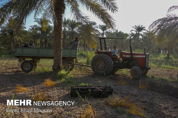 برداشت خرما سمرون در روستای غزاویه