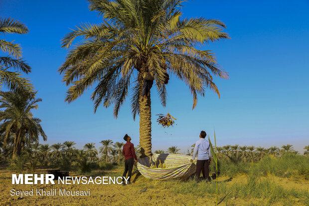برداشت خرما در روستای غزاویه