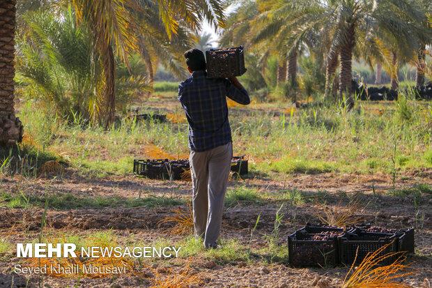 Harvesting date in Khuzestan