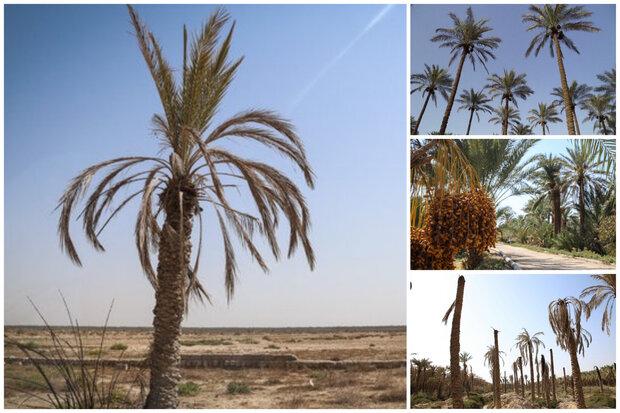 تیشه خشکسالی ودلالی برجان نخلهای خوزستان/نخلها ایستاده میمیرند