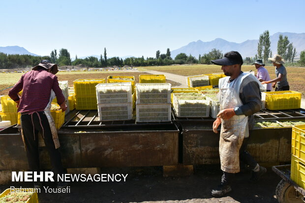 Grapes harvesting in Khondab