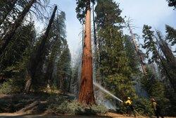 محاولة لإنقاذ الغابات في كاليفورنيا من الحرائق/ بالصور