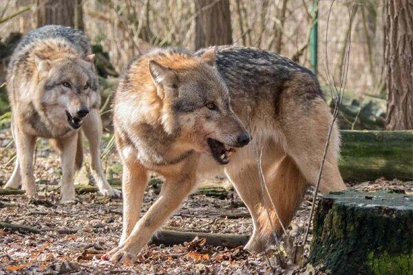 حمله گرگها به چوپان کوهرنگی / امدادرسانی هلالاحمر