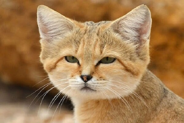VIDEO: Endangered sand cat spotted in S Iran