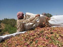 Harvesting pistachio from Darestan Village gardens in Sirjan