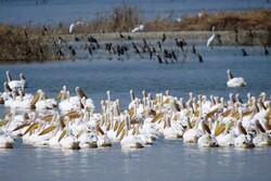 VIDEO: Khuzestan wetlands hosting migratory birds