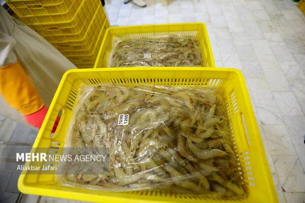 Shrimp farming complex in Gomishan, Golestan prov.