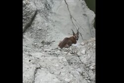 VIDEO: Caracal spotted in Dashtestan