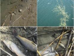 یکهزار قطعه ماهی تالاب برم الوان بهمئی تلف شد/ وجود سولفات بالا